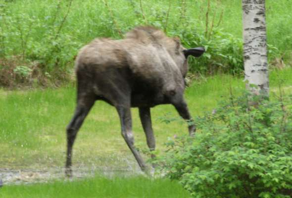 Moose In Pond 1
